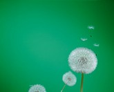 Dandelion with seeds blowing