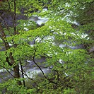 Tree beside river, close up, Urabandai, Fukushima prefecture, Japan