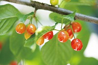 Cherries growing on a branch