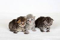 British Longhair Cat, kittens, 2 weeks, black_golden_tabby, blue_silver_tabby and black_silver_tabby, Highlander, Lowlander, Britanica