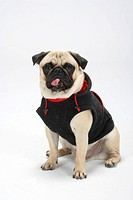 Pug wearing pullover
