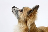 Chihuahua, longhaired, 11 years old, side, profile