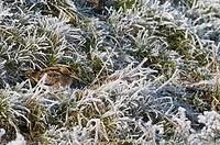 Common Snipe, European Snipe, Gallinago gallinago, winter, meadow, grassland, freezing, freeze, bird, birds, hoarfrost, rime, nature, animal