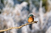 Kingfisher, Alcedo atthis, portrait, branch, sitting, background blurred, bird, birds, animal, nature, winter