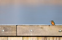 Kingfisher, Alcedo atthis, fence, sitting, background blurred, bird, birds, animal, nature, winter