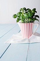 Basil plants in pitcher pot