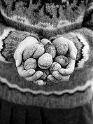 Hands holding several walnuts