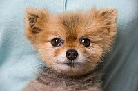 Close_up of a Pomeranian puppy