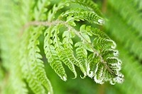 Hard Shield Fern Polystichum aculeatum