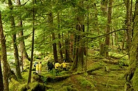 Canada, BC, Queen Charlotte Islands, Gwaii Haanas National Park, Windy Bay, 'hlk'yah Llnagaay'.  Group of visitors tour the remains of Haida village