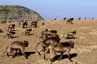 Ethiopia, Simien Mountains National Park, listed as World Heritage by UNESCO, a group of Geladas baboons, endemic case