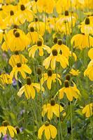 Brown-eyed Susan flowers
