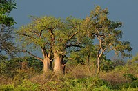Baobab Tree, Mudumu, National Park, Caprivi, Namibia, Africa, Travel, Nature