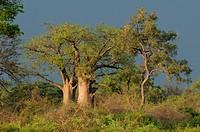 Baobab Tree, Mudumu, National Park, Caprivi, Namibia, Africa, Travel, Nature