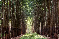 Vietnam, Highlands, rubber tree