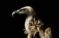 France, griffon vulture
