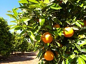 Oranges growing on trees in orchard