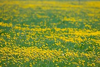 Field of spring dandelions