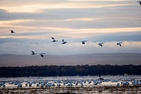 Canada, Quebec, Saint Laurent river, Snow Goose Chen caerulescens, migration