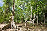 Roots of rainforest trees, Carenero Island, Bocas del Toro Province, Panama