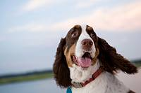 English springer spaniel spies birds while on boat