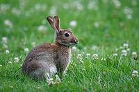 Young European Rabbit, Oryctolagus cuniculus, Schleswig-Holstein, Germany