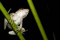 Bottom view of a frog perched on a stem  Photographed in Costa Rica
