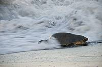 Female Olive Ridley sea turtle, Lepidochelys olivacea, hit by a wave while returning to the ocean after laying eggs on land  Photographed in Costa Ric...