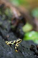 Green and black poison-dart frog, Dendrobates auratus, in the lowland tropical rainforests of Panama