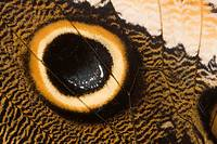 Close-up of a tropical butterfly wing, order Lepidoptera  Photographed in Costa Rica