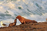 South American Sea Lions (Otaria flavescens, formerly Otaria byronia). Punta Norte, Península Valdez, Patagonia, Argentina.