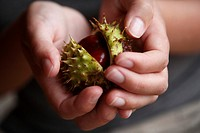 A pair of hands holding a horse chestnut or conker