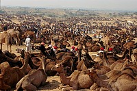 Pushkar Camel trading fair Rajasthan Desert India