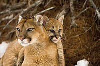 Closeup portrait of mother Cougar w/cub climbing on back Minnesota USA Winter