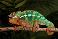 Panther chameleon (Furcifer pardalis), captive