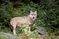 Germany, Bavaria, Bayerischer Wald National Park, wolf Canis lupus