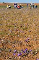 Saffron harvest, Saffron Crocus, Motilla del Palancar, Cuenca province, Castilla_La Mancha, Spain, Crocus sativus