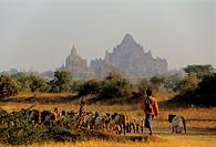 Myanmar Burma, Mandalay Division, shepherd in Bagan site