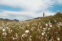 Bog cotton or cottongrass growing in peat bog with walker in the backgroung, Mourne mountains