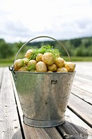 A tin pail full of potatoes Sweden.
