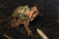 American Toad (Bufo americanus) pair in amplexus, laying eggs. New York, USA _ ´Hop toad´ _ Widespread and abundant in eastern United States and Canad...