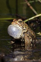 American Toad (Bufo americanus), male calling to attract female, New York, USA  _ 'Hop toad' _ Widespread and abundant in eastern United States and Ca...