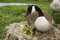 Canada Goose (Branta canadensis) on nest with young, New York, USA _The most common and best_known goose_  identified by the black head and neck and b...