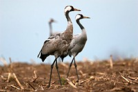 Cranes on afield, Grus grus, Mecklenburg_Western Pommerania, Germany, Europe