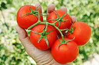 Harvesting tomatoes in a kitchen garden