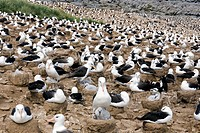 Black_browed albatrosses Thalassarche melanophrys on nests with their young.