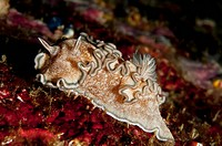 Nudibranch, Similan Islands National park, Andaman Sea, Thailand.