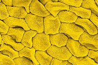 Gorse Ulex europaeus petal surface, coloured scanning electron micrograph SEM. This surface is smooth, compared to the surfaces of leafs and sepals, w...