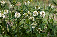 Mountain clover Trifolium montanum in flower. Photographed in Cevennes in France.