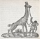 Giraffe, 16th century artwork. Captive giraffe being led on a rein. The giraffe is native to sub_Saharan Africa, though captive specimens had been bro...